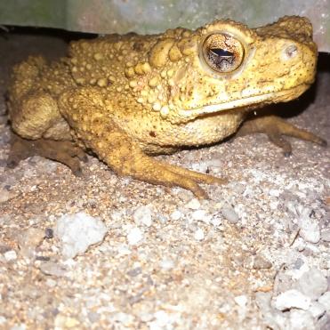 Kangkuang (Kodok/Frog) 10 April 2015