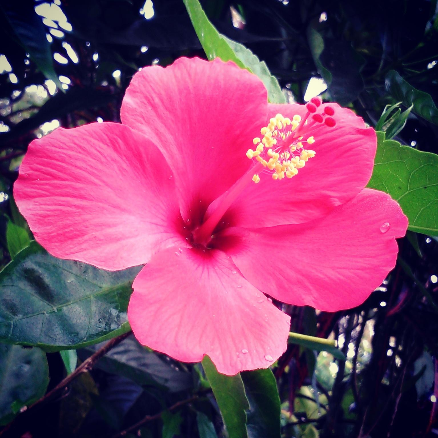 Bungo Rayo (Bunga Kembang Sepatu Hibiscus Flower)  55e01e1717