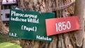 Pterocarpus indicus Wild (Pohon Rindang Berbau Mawar)