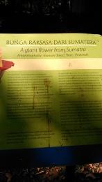 "Bunga raksasa Sumatera ""Rafflesia Arnoldi"""