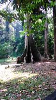 Pohon Kinari