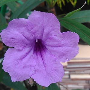 Bunga Terompet (27 Juli 2015) (6)