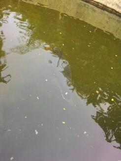 Ikan Gadang Di Kapalo Hilalang (30 Agustus 2015)(1)
