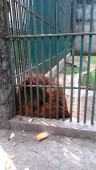 Kebun Binatang Kinantan Bukittinggi (13 September 2015) (2)