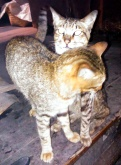 Kucing Enek (5 Oktober 2015) (5)a