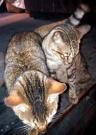 Kucing Enek (5 Oktober 2015) (8)a