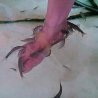 Terapi Ikan Garra Fura Bukittinggi (20 November 2015)(3)